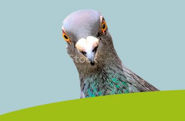 beeld-duif